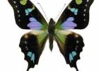 Ægte sommerfugl i ramme, Svalehale