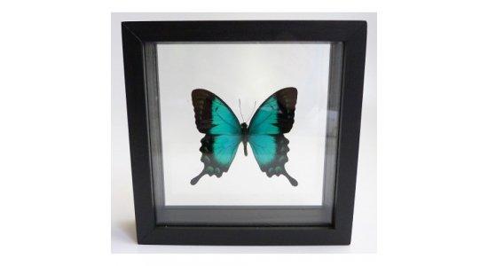 Ægte sommerfugl i dobbelt glasramme, Grøn svalehale