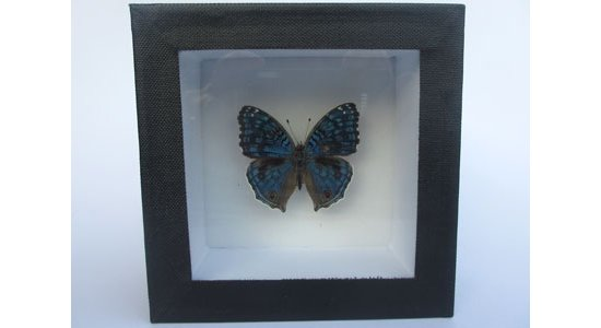 Ægte sommerfugl i æske med glaslåg